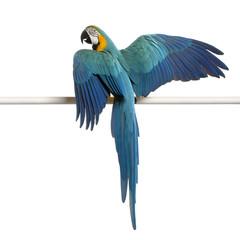 Fond de hotte en verre imprimé Perroquets Blue and Yellow Macaw, Ara Ararauna, perched on pole