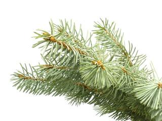 blue pine branch