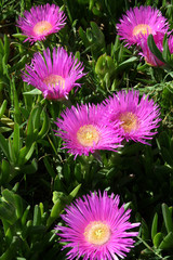 Pink Hottentot Fig (Carpobrotus acinaciformis) - Crete