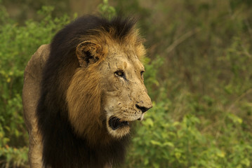 Big male lion looking at something in the african veld