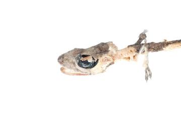 dead gecko skull
