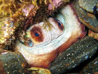 Octopus in a hole underwater in the Mediterranean sea