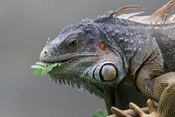 Black Iguana (Ctenosaura similis) in Roatan, Honduras