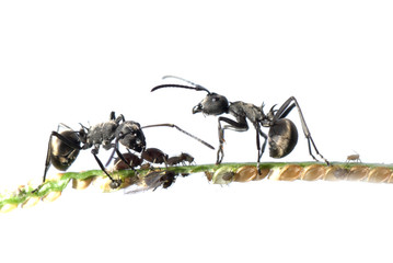 ant and aphid symbiosis
