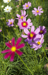 Cosmos flowers on plant