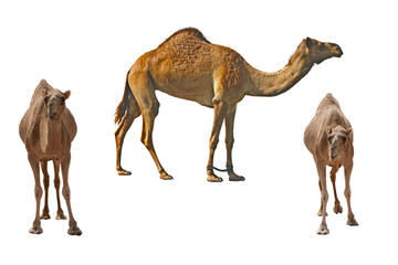 Three camels on the white background