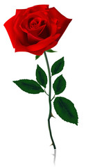 Beautiful red rose. Photo-realistic vector.