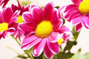 several flowers of chrysanthemum