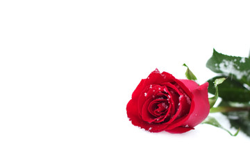 Red Rose in the snow. Isolated on white