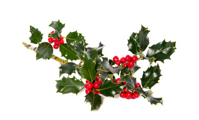 a holly branch isolated over white
