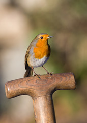 Robin perched on a garden fork handle
