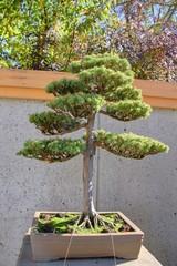 bonsai japonais