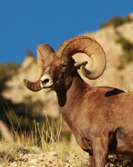 Majestic Bighorn Sheep