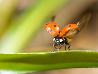 Ready to fly. Closeup of ladybug
