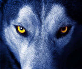Ingelijste posters Wolf beautiful eyes of a wild wolf.