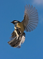 Titmouse in the flight
