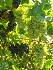 growing grape clusters on the vines