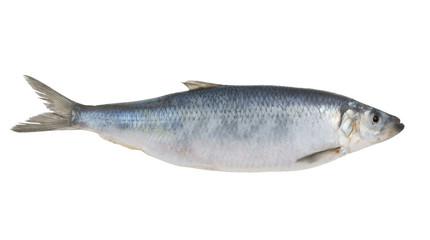 Fresh herring fish isolated on white background