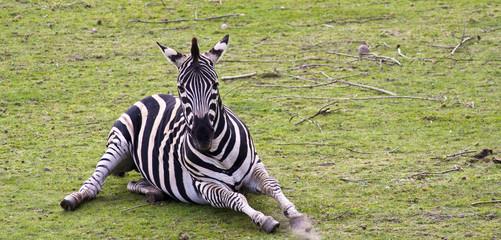 Obraz Zebra - fototapety do salonu
