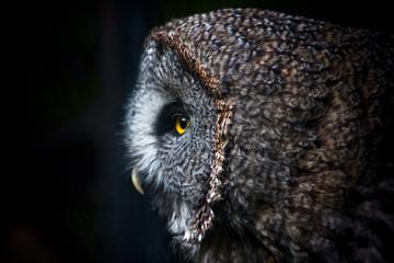 A curious tawny owl