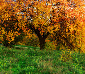 Big autumn tree