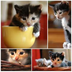 gattina tricolore