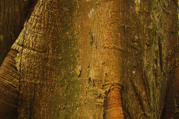 Detail of Ceiba, tropical tree, Background.