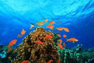 Coral Reef and Lyretail Anthias Fish