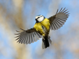 Frontal view of flying Blue Tit