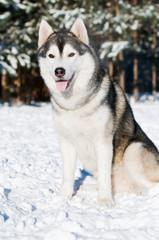 Siberian husky portrait at winter