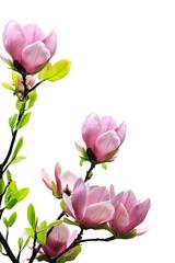 Spring magnolia tree blossoms