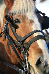 Close up of the face of a large draft horse.