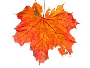 autumn leaf isolated