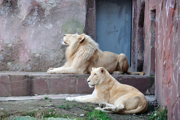 Lion and lioness in the zoo