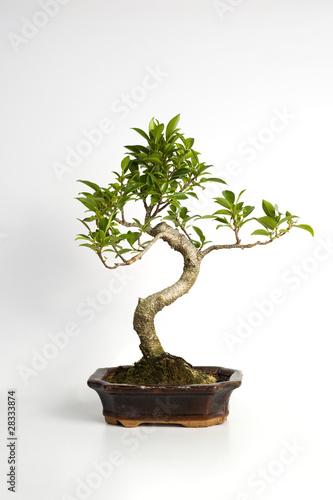 piccolo albero bonsai su sfondo bianco immagini e