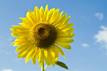 A sunflower with blue sky background