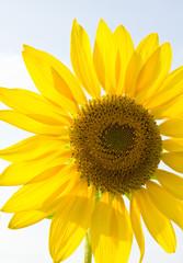 Sunflower against the light