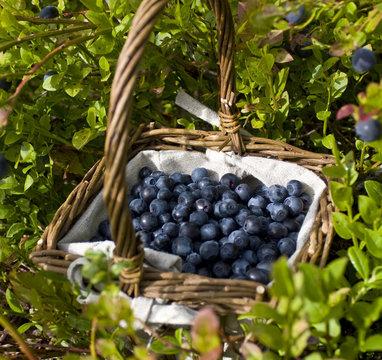 A basket full of european blueberries (bilberries)