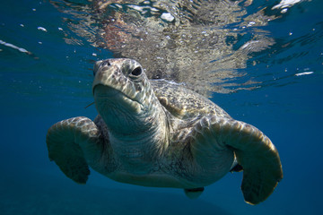 TURTLES IN RED SEA