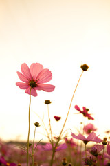Fond de hotte en verre imprimé Rose banbon cosmos flowers at sunset