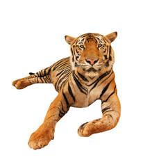 Tiger freigestellt