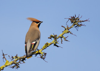 Waxwing with a blue sky background