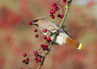 Waxwing eating a Hawthorn berry