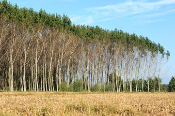 pioppeto alberi 1420