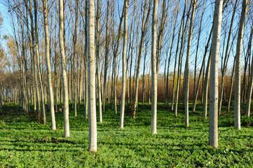 pioppeto alberi 1457