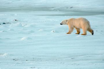 Self adhesive Wall Murals Polar bear polar bear walking tundra in late afternoon