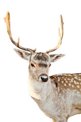 Deer on a white background