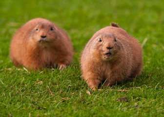 A pair of Black Tailed Prairie Dog (Cynomys ludovicianus)