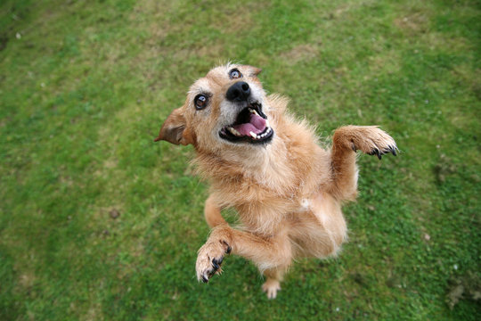 Dog standing on hind legs with happy grin