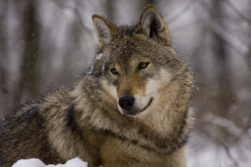 Portrait of an European grey wolf (Canis lupus lupus)